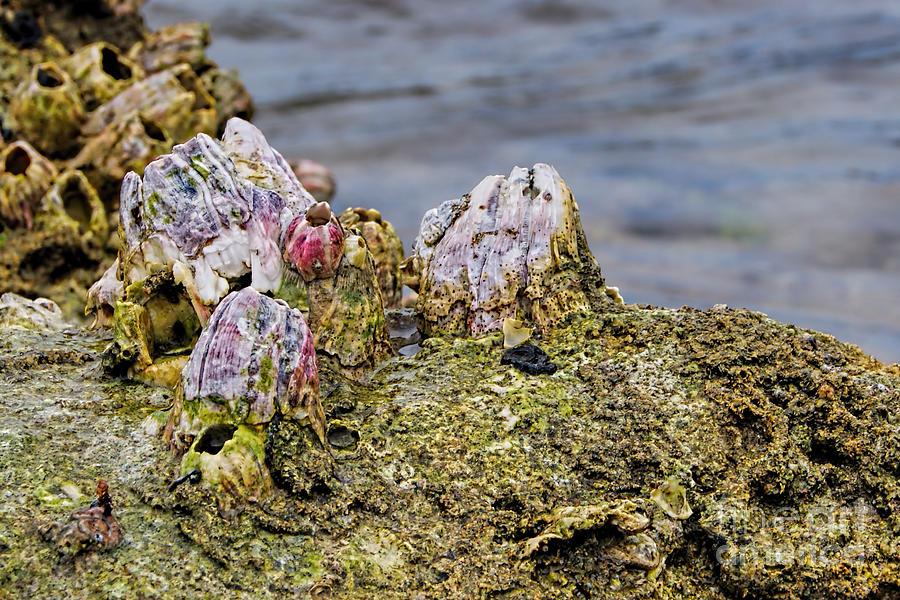 Barnacle Photograph - Barnacles by Olga Hamilton