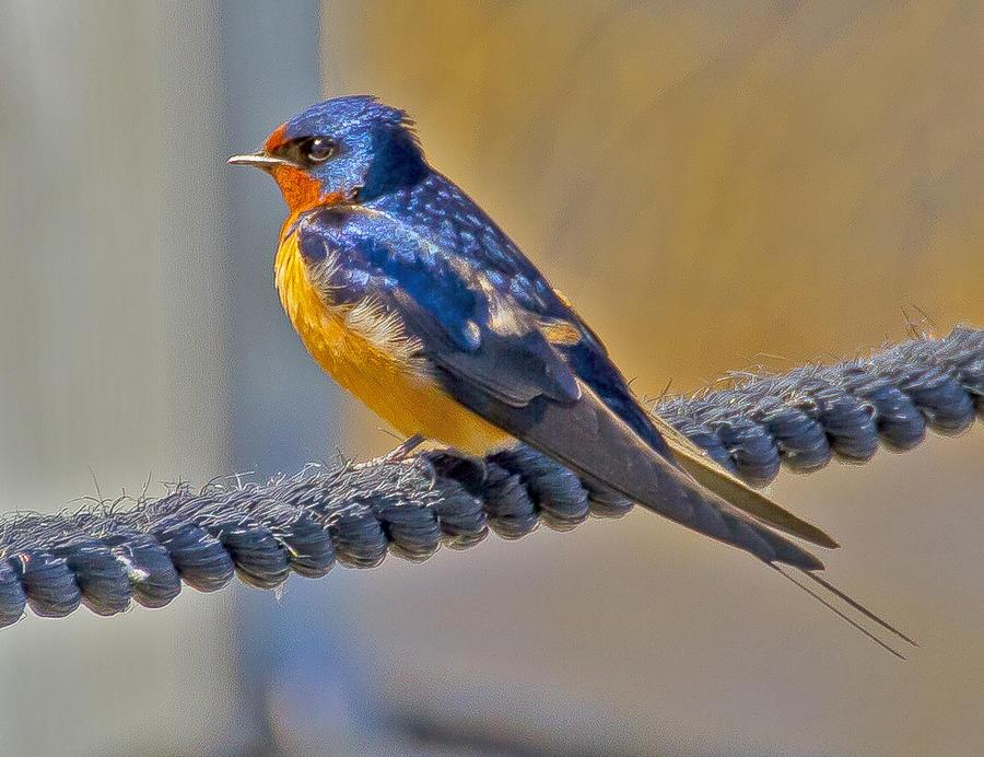 Barnswallow Photograph