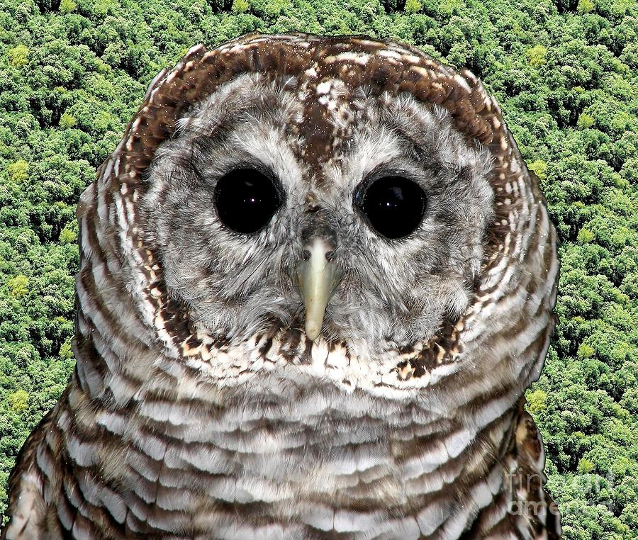 Barred Owl Photograph - Barred Owl 1 by Rose Santuci-Sofranko