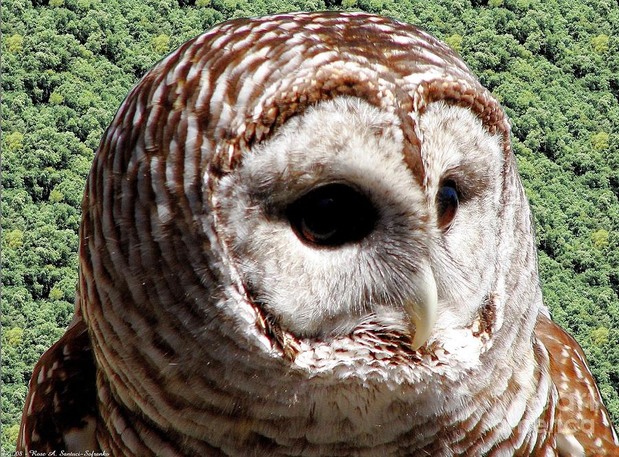 Barred Owl Photograph - Barred Owl 2 by Rose Santuci-Sofranko