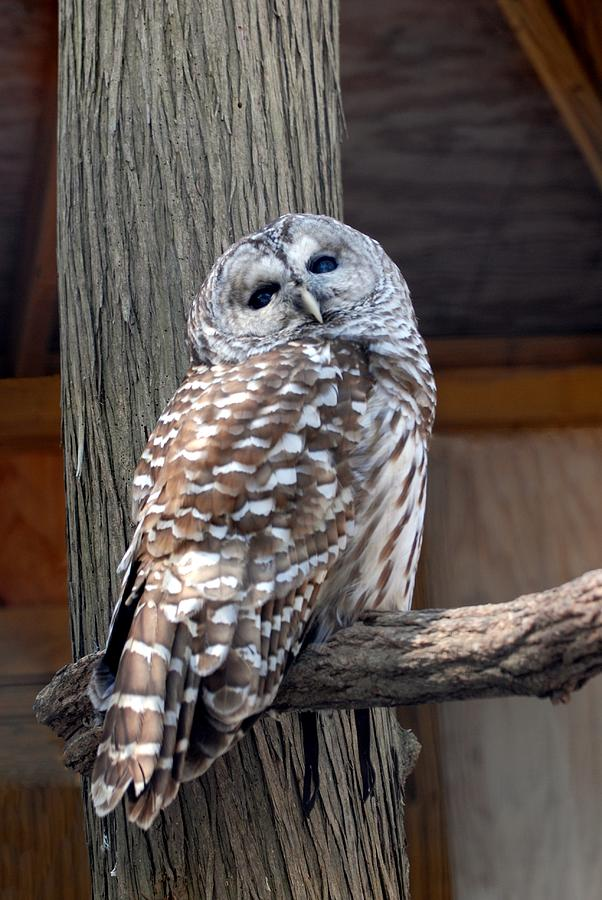 Barred Owl Photograph - Barred Owl 264 by Joyce StJames