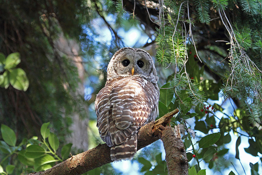 Owls Photograph - Barred Owl And Holly by Peggy Collins