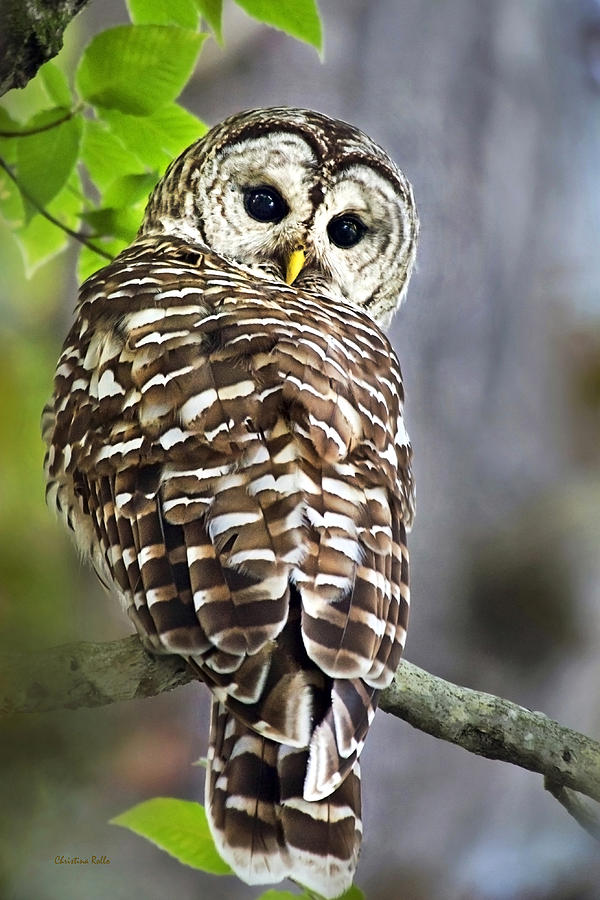 Owl Photograph - Barred Owl by Christina Rollo