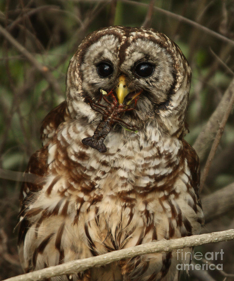 Barred Owl Photograph - Barred Owl Eating Crawfish by Kelly Morvant