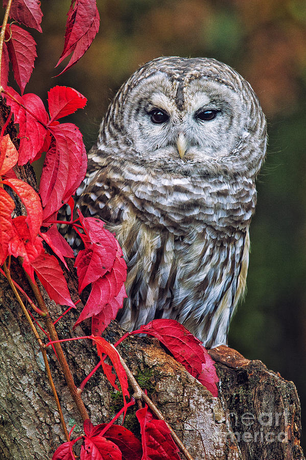 Bird Photography Photograph - Barred Owl II by Todd Bielby