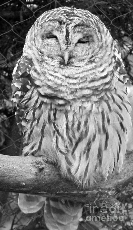 Telfer Photograph - Barred Owl In Black And White by John Telfer