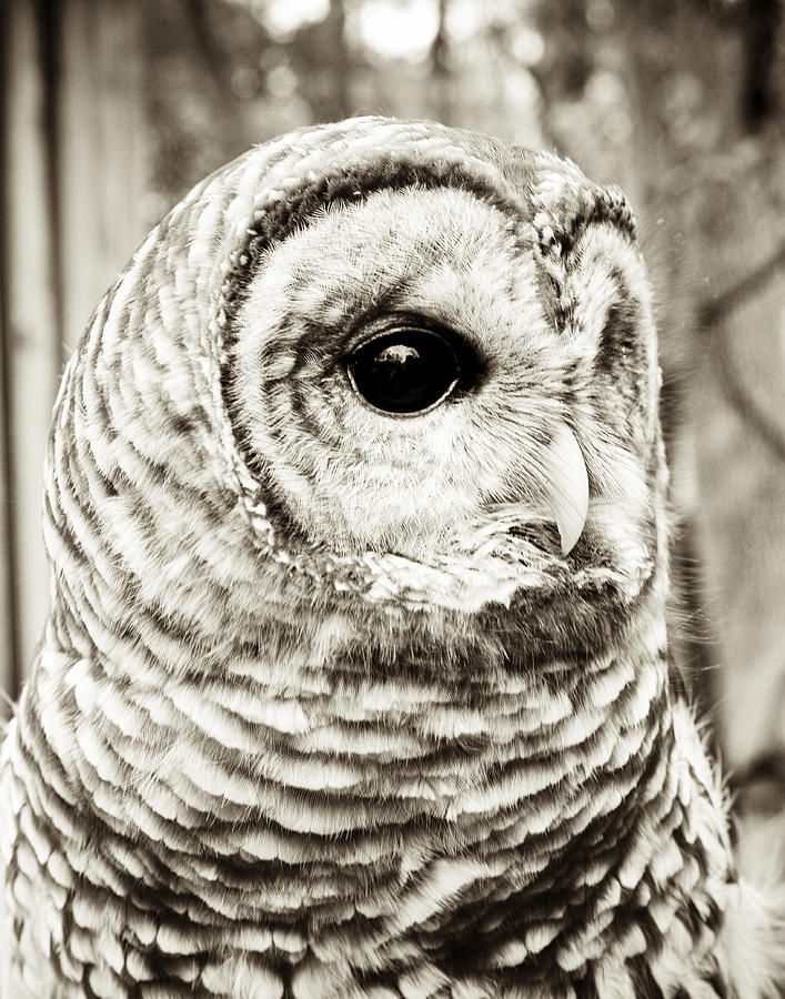 Bird Photograph - Barred Owl by Olivia StClaire