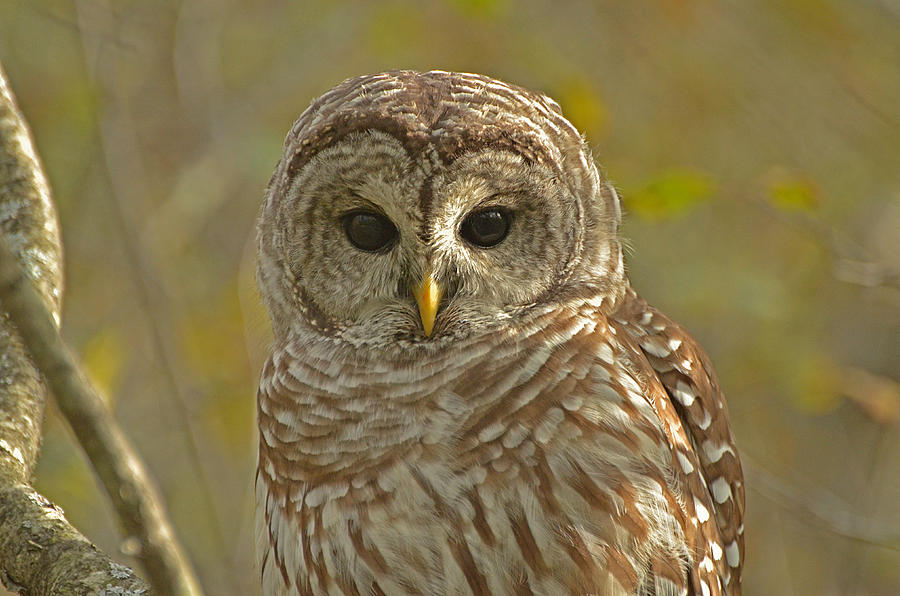 Barred Owl Photograph - Barred Owl Looking At You by Nancy Landry