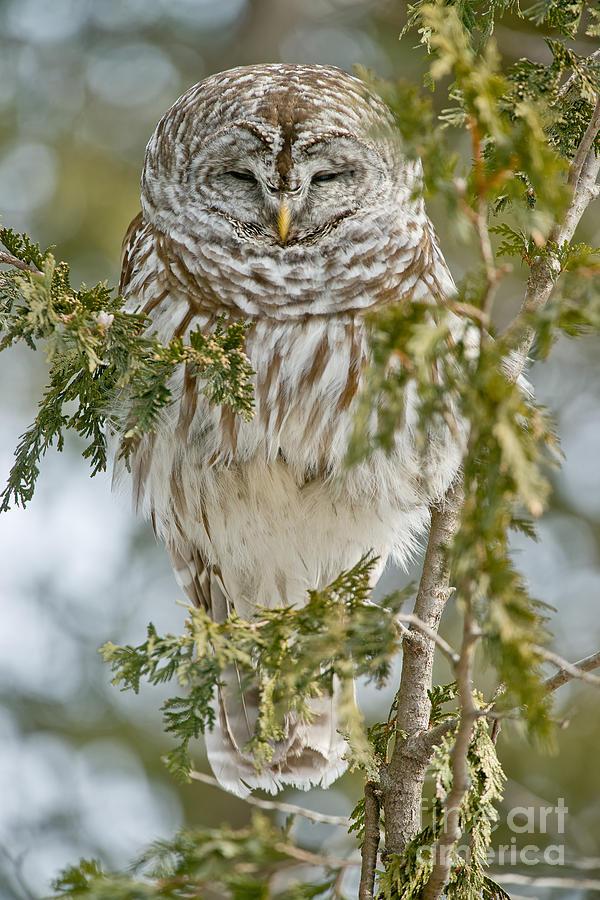 Barred Owl by Michael Cummings