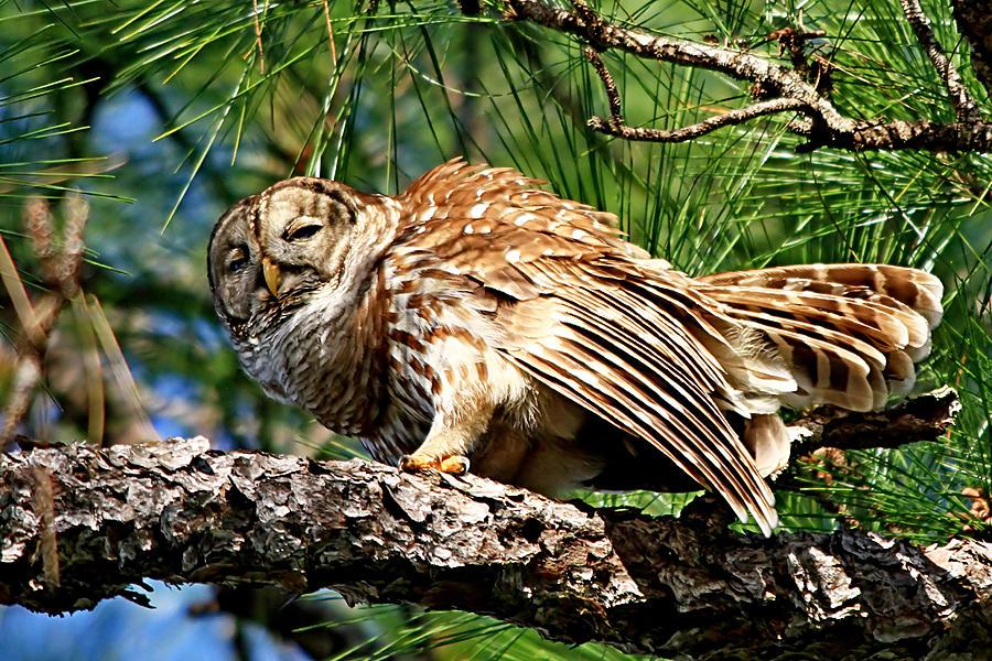 Alert Photograph - Barred Owl On Limb by Ira Runyan
