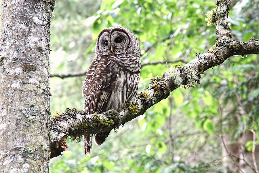Barred Owl Photograph - Barred Owl by Peggy Collins