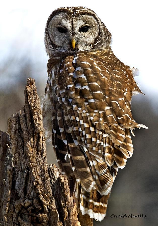Owl Photograph - Barred Owl Portrait 1 by Gerald Marella