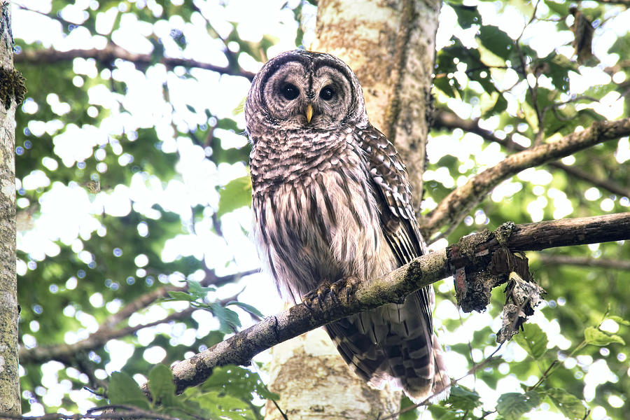 Owls Photograph - Barred Owl Staring by Peggy Collins