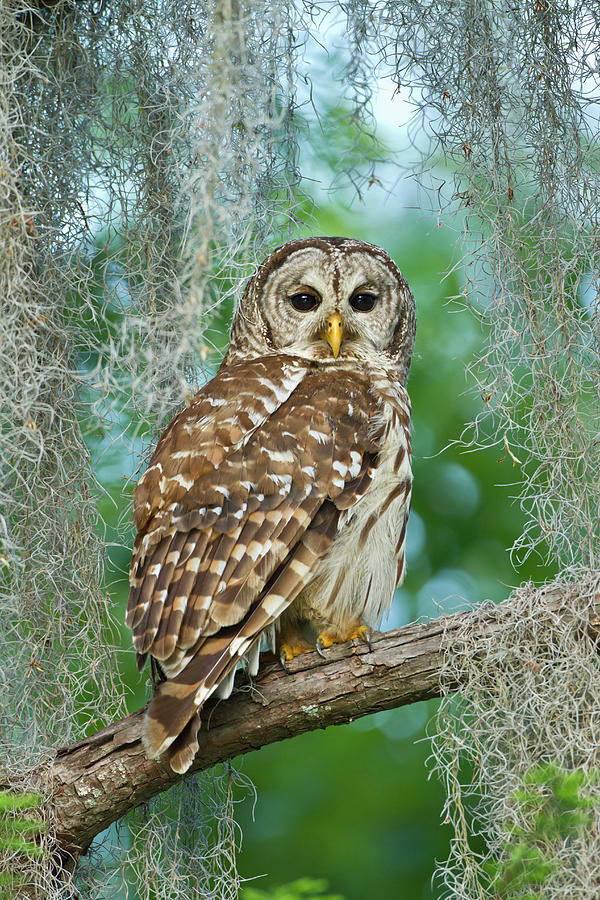 Barred Owl Strix Varia In Bald Cypress Photograph by Danita Delimont