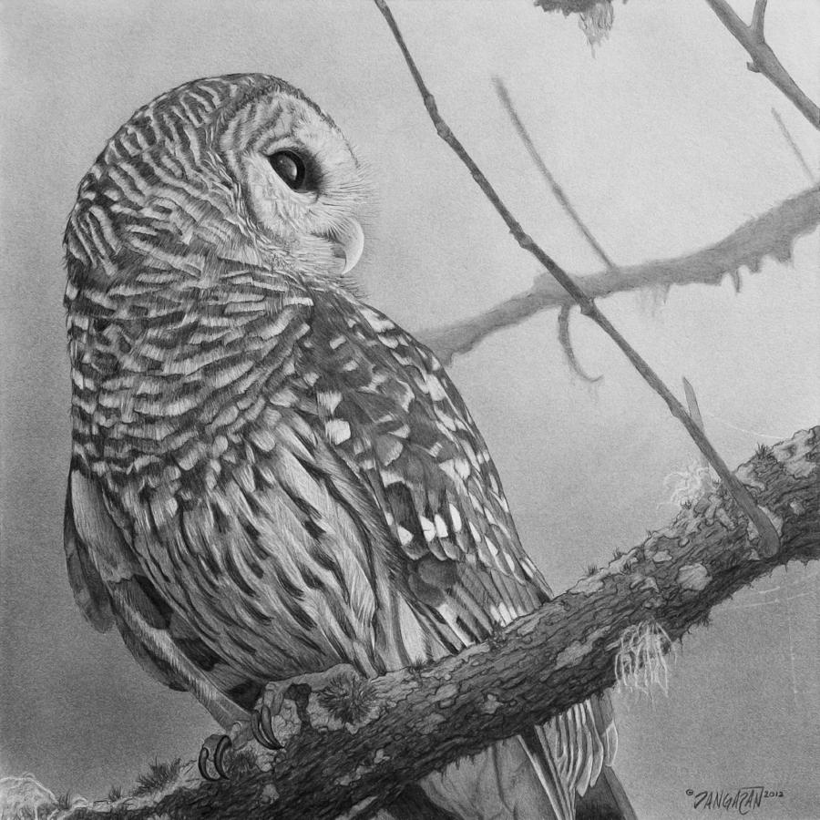 Graphite Drawing Drawing - Barred Owl by Tim Dangaran
