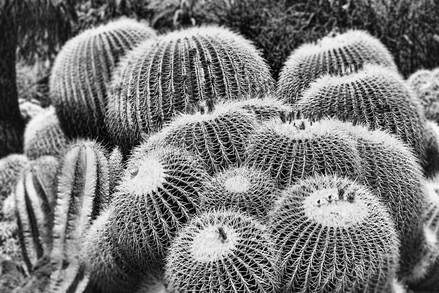 Echinocactus Grusonii Photograph - Barrel Bunch by Kelley King