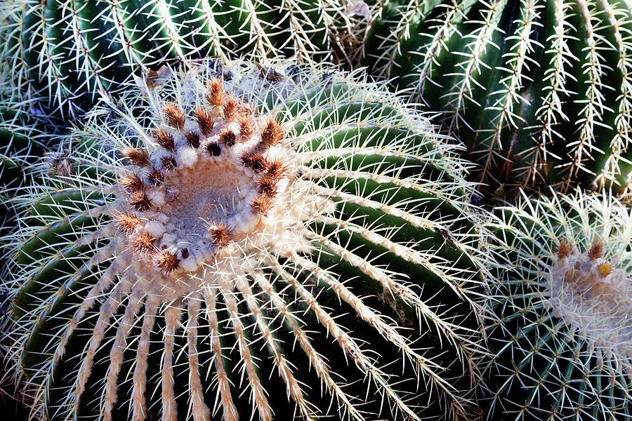 Barrel Cacti Photograph by Steve@colorado