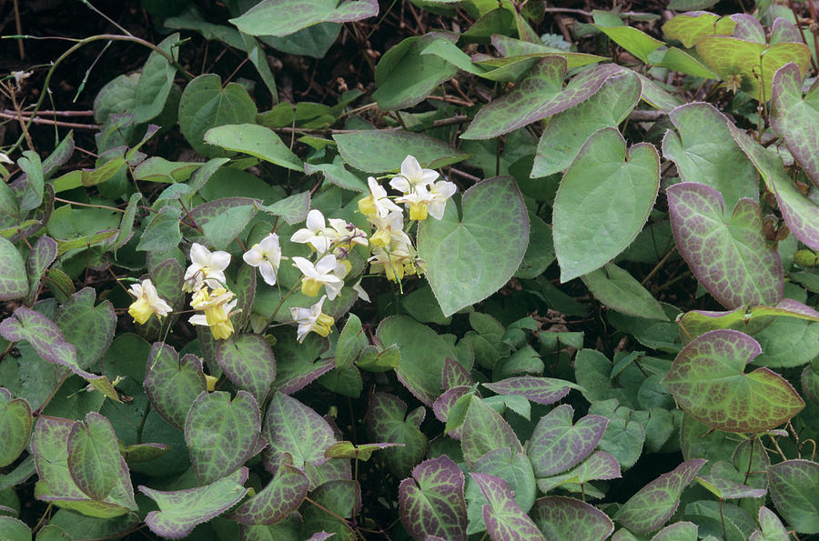 Barrenwort Photograph - Barrenwort (epimedium X Versicolor) by Sally Mccrae Kuyper/science Photo Library