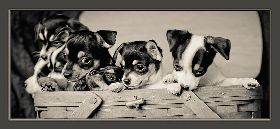 Canine Photograph - Basket Of Chi by Kristi Swift