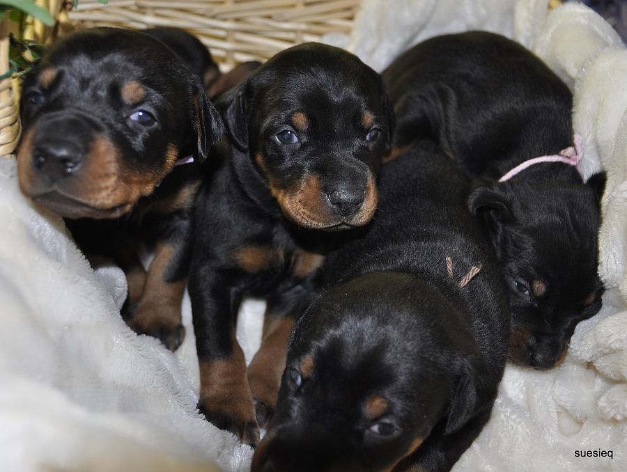 Puppies Photograph - Basket Of Puppies by Sue Rosen