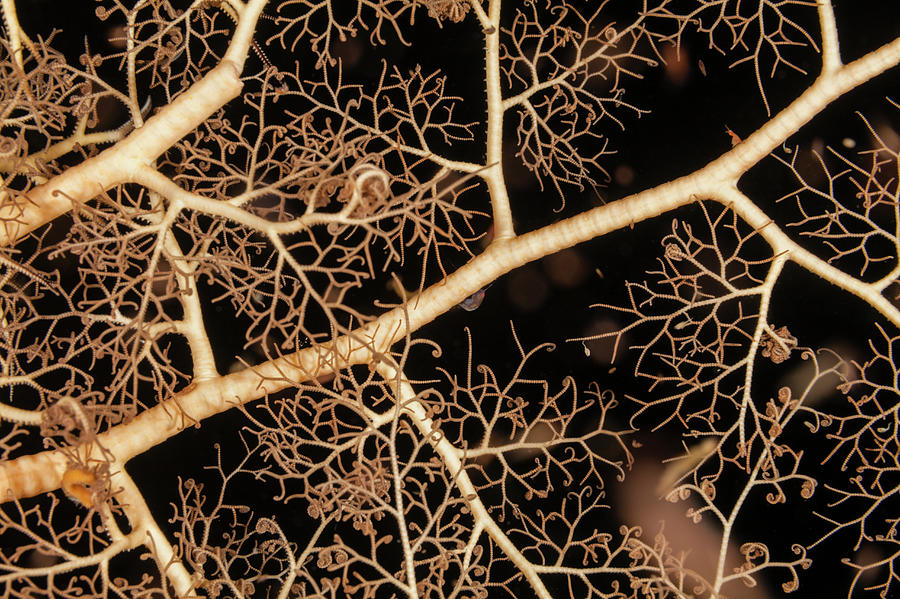 Basket Star Photograph by Michele Westmorland
