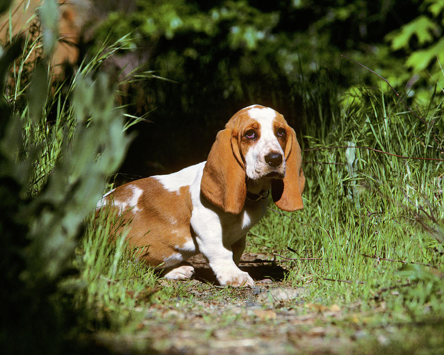 Horizontal Photograph - Basset Hound Puppy In A Garden by Animal Images