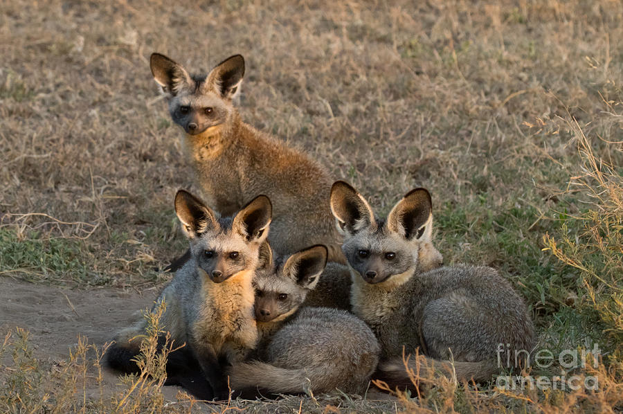 Africa Photograph - Bat-eared Foxes by Chris Scroggins