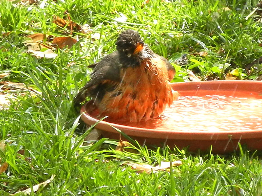 Robin Photograph - Bath Time by Virginia Forbes