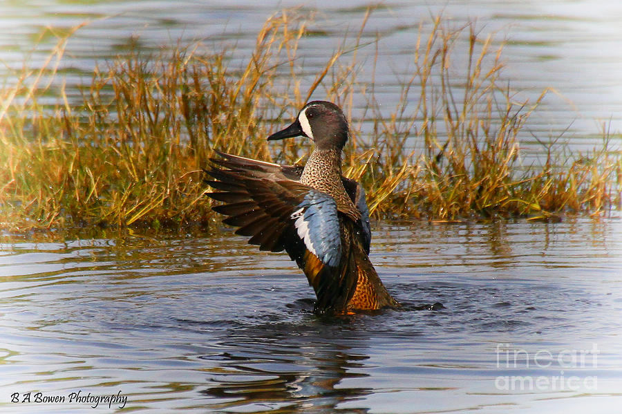 Blue-winged Teal Photograph - Bathing Blue-winged Teal by Barbara Bowen