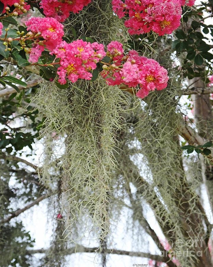 Baton Rouge Louisiana Moss And Crepe Myrtle Photograph