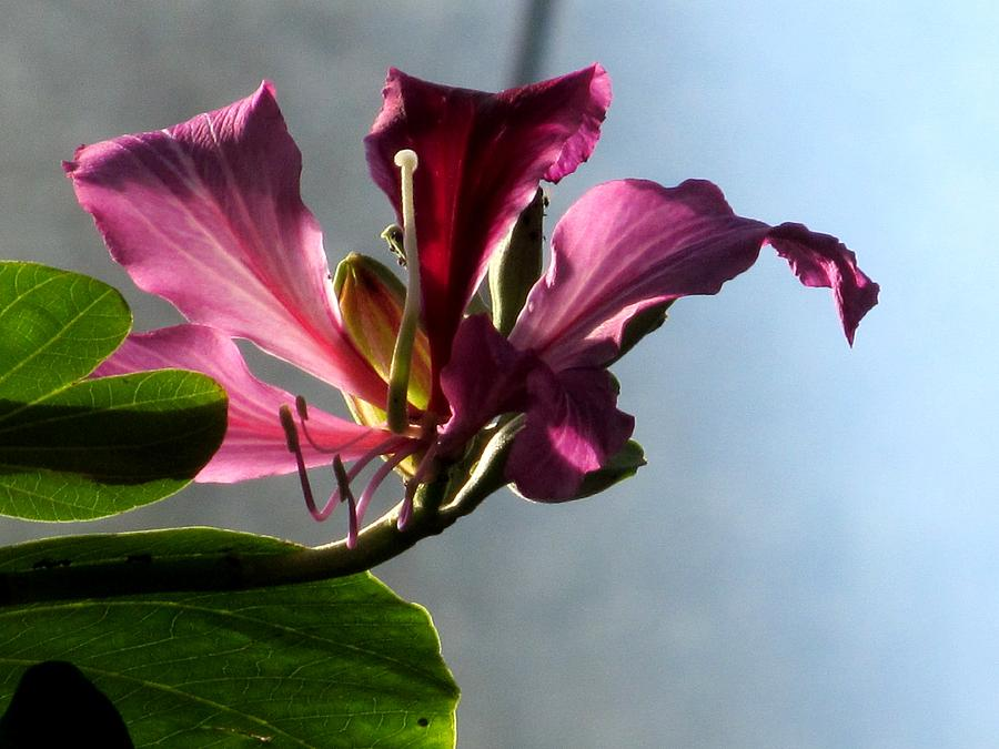 Pink Flower Photograph - Bauhinia by Alfred Ng