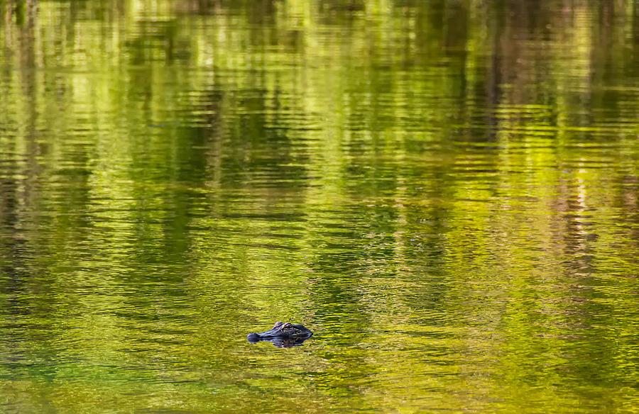 Gator Photograph - Bayou Dream by Steve Harrington