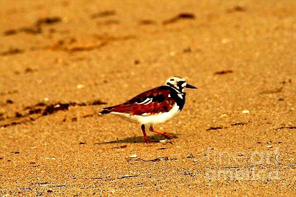 Shore Bird Photograph - Beach Bird 1 by Anita Lewis