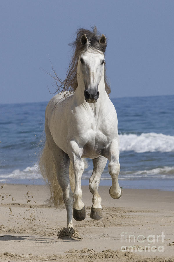 Andalusian Stallion Photograph - Beach Run by Carol Walker