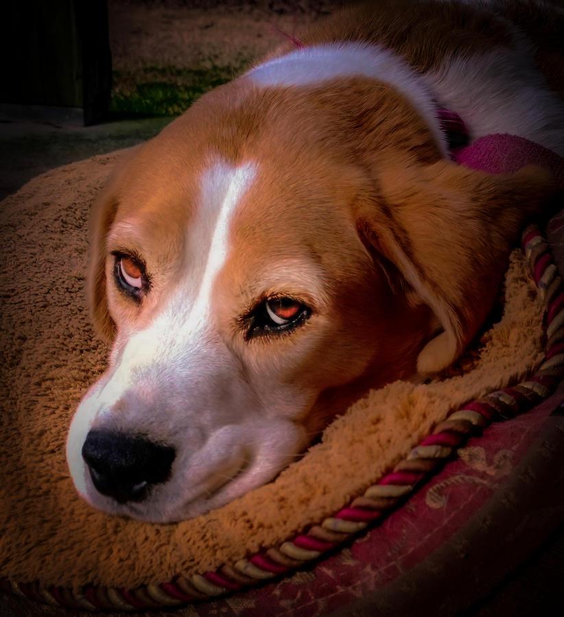 Beagles Photograph - Beagle Blues by Karen Wiles