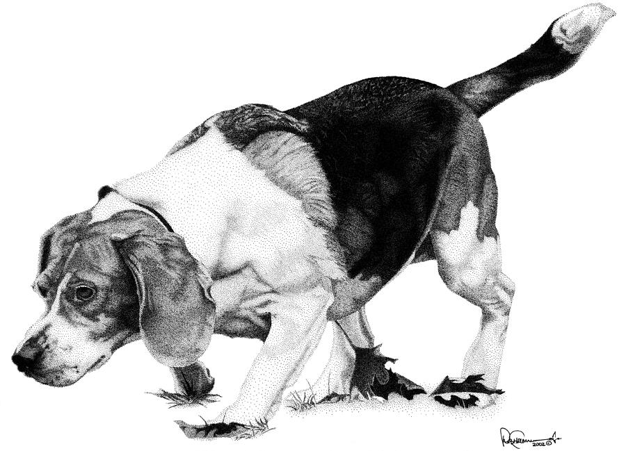 Beagle Drawing - Beagle On The Hunt by Rob Christensen