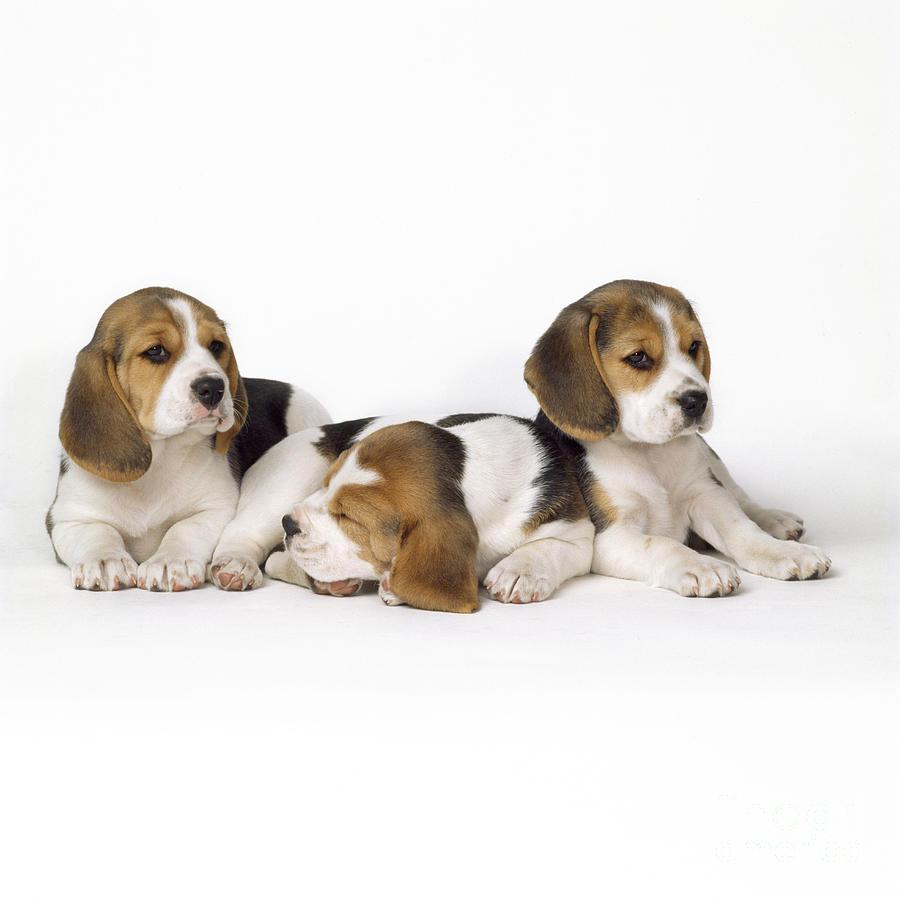 Beagle Photograph - Beagle Puppies, Row Of Three, Second by John Daniels