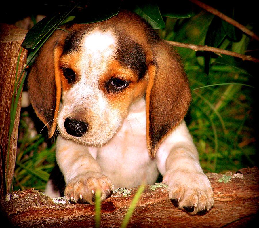Beagle Photograph - Beagle Puppy 1 by Lynn Griffin