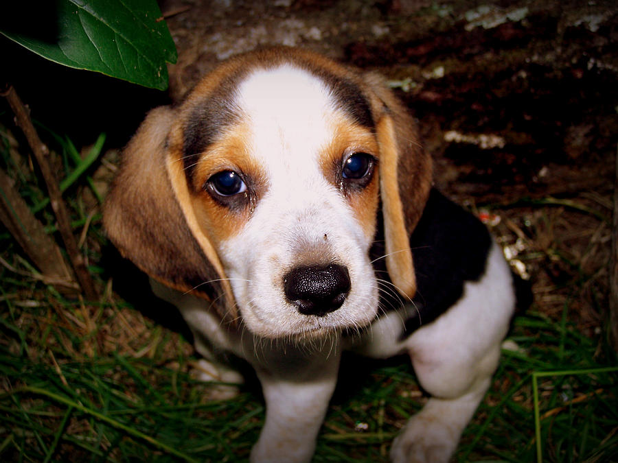 Beagle Photograph - Beagle Puppy 2 by Lynn Griffin