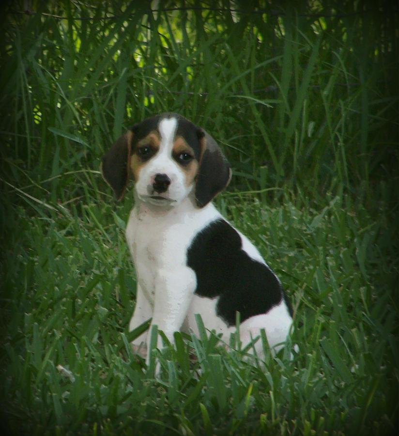 Beagle Photograph - Beagle Puppy 4 by Lynn Griffin