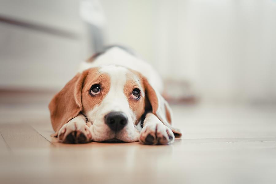 Beagle puppy lying down Photograph by Dan Steel