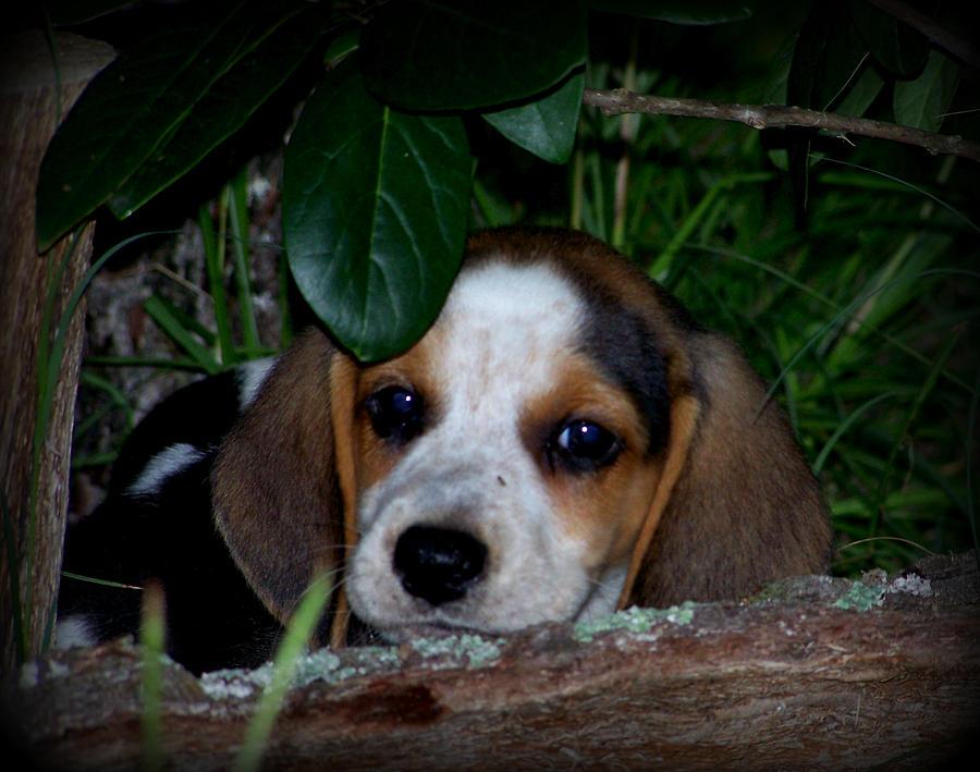Beagle Photograph - Beagle Puppy by Lynn Griffin