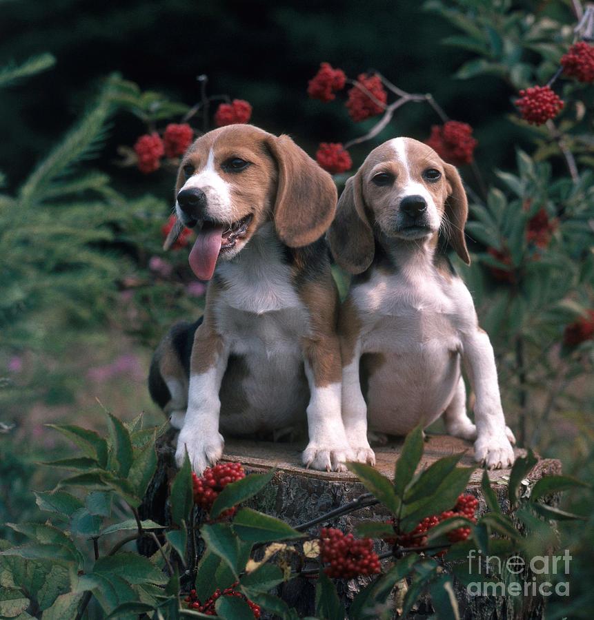 Animal Photograph - Beagles by Hans Reinhard