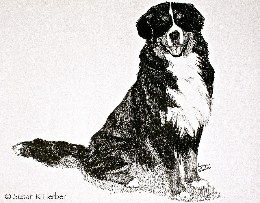 Bernese Mountain Dog Drawing - Beaming Berner by Susan Herber