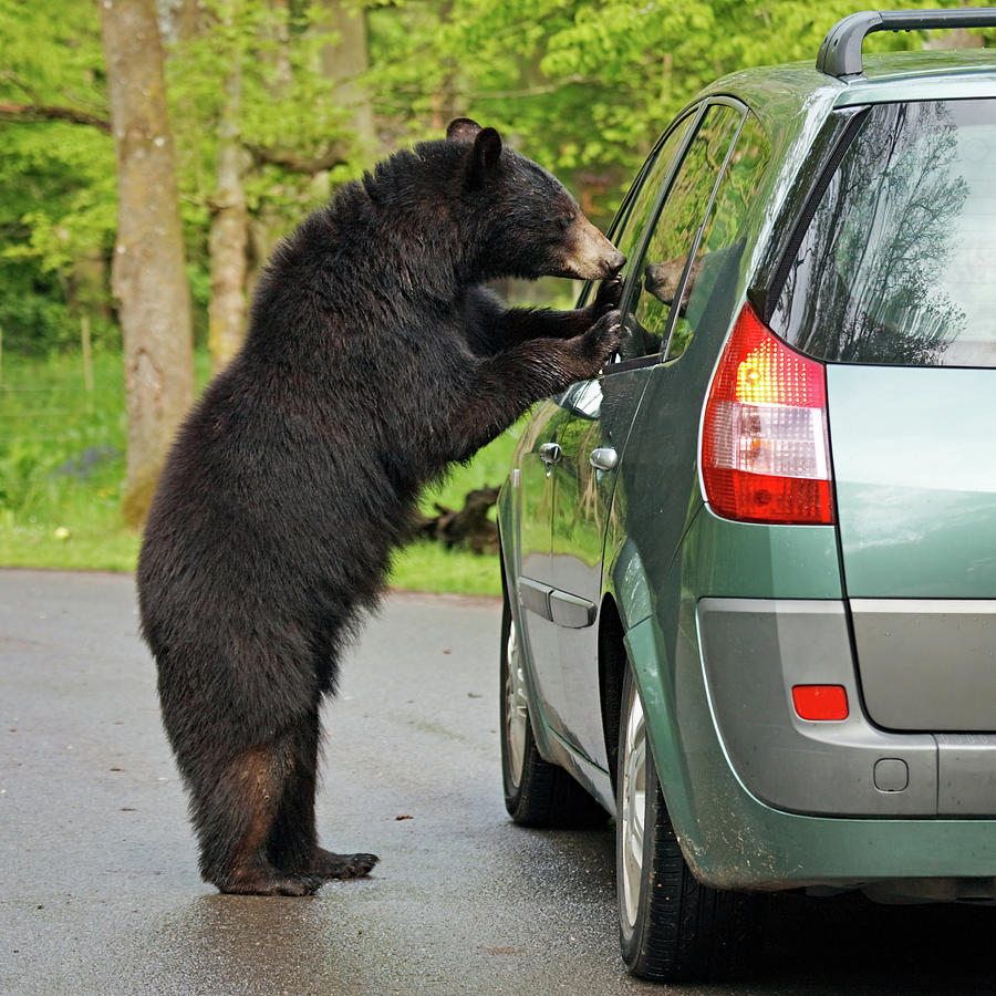 Bear And Car Photograph by Rusm