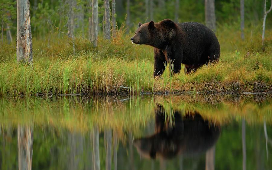 Bear Photograph - Bear And Fish *** by Assaf Gavra