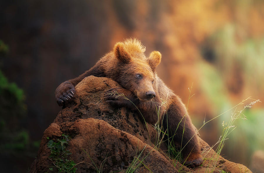Bear Photograph - Bear Portrait by Sergio Saavedra Ruiz