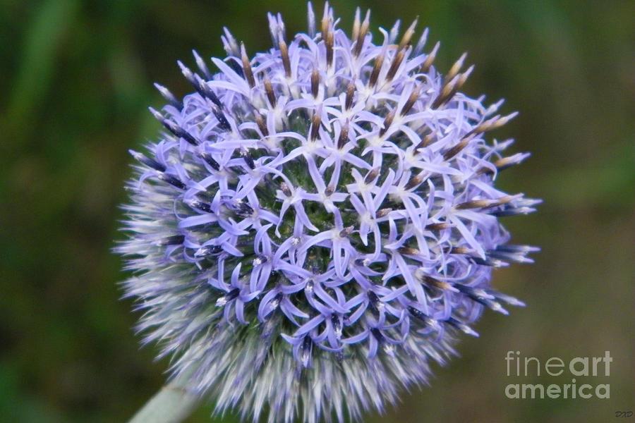 Lilac Photograph - Bearded Flower by Dezera Davis