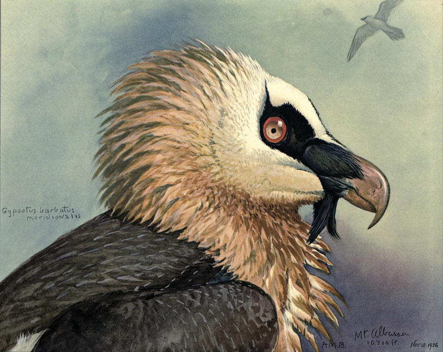 Bearded Vulture Painting - Bearded Vulture by Dreyer Wildlife Print Collections