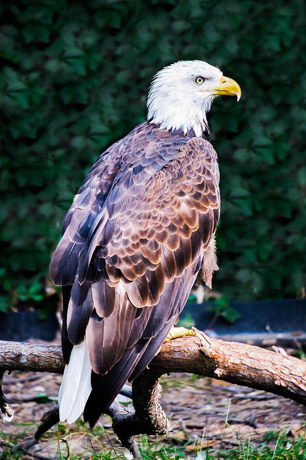 Bald Eagle Photograph - Beautiful Bald Eagle by Jason Brow